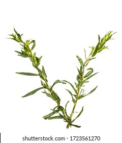 Twigs of fresh rosemary on a white background