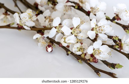 Twigs of a fruit tree with blossoms and buds on a light gray background