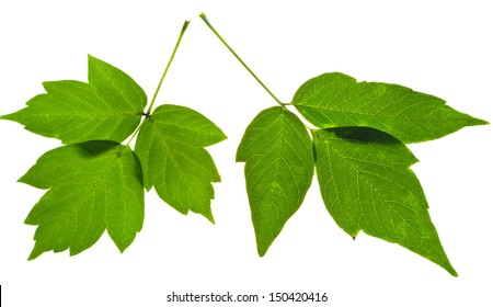 twigs of green ash tree leaves isolated on white background