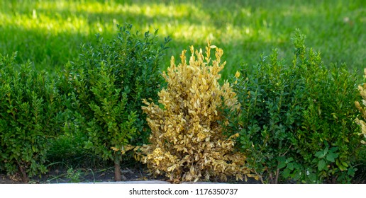 The twigs and leaves of boxwood turn yellow because of the sucking damage.