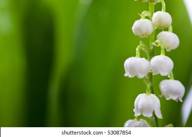 Twigs of Lilly of the valley isolated on white background