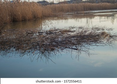 Twigs placed on the cold mash waters by beavers for the building of a beaver dam