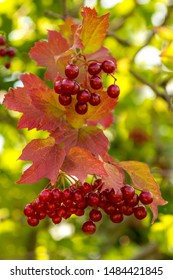 Twigs with red viburnum berries with autumn red and yellow leaves in the garden, close up