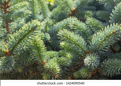 The twigs of Sitka spruce Picea sitchensis in the spring. close up