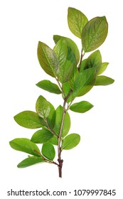 Twigs with young  green  leaves of spring city street  decorative  bush. Isolated on white studio macro shot