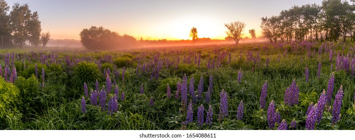 Twilight on a field covered with flowering lupines in spring or early summer season with fog, cloudy sky and trees on a background in morning. Panorama.