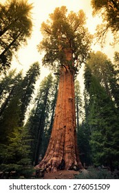 Twilight on the General Sherman Tree, Sequoia National Park, California
