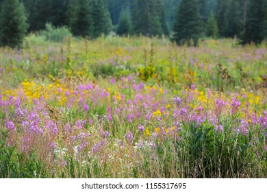 Twin Arnica, Pearly Everlasting, Fireweed, Yarrow Wildflowers Meadow In Pines