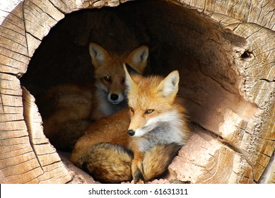 Twin baby fox watching from a hollow log