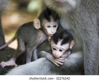 twin baby monkey sacred monkey forest ubud bali indonesia