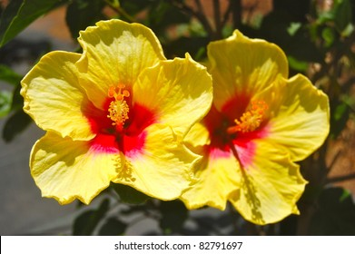 Twin Bright Yellow and Pink Tropical Hibiscus Flower Hawaii