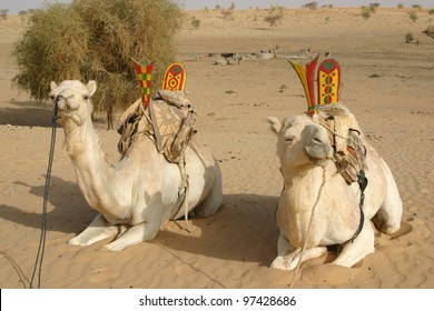 Twin camels of Tuareg nomads wait for their riders in the Sahara desert of Mali, Africa