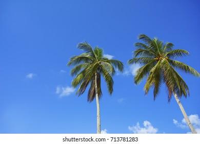 Twin coconut tree over blue sky background. Copyspace area