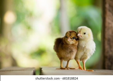 Twin or couple of little chickens friend between brown and yellow color on green or natural background and on wood floor, Both of chicks, Newborn of chickens for concept design and decorative workings