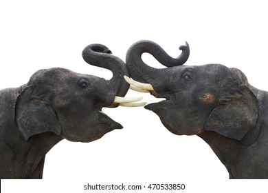 Twin elephants show making stance lift trunk up isolated on white background in Thailand .