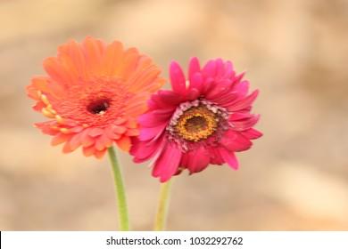 Twin  Gerbera  : Beautiful orange and pink   gerbera on a nature  background.