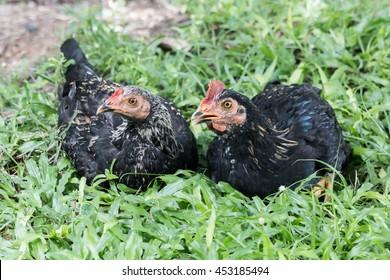 twin hen