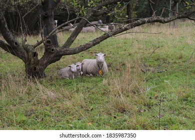 Twin lambs with mom sheep laying on the grass resting.