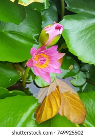 Twin lotus flowers with Green leaf and two golden  leaf in the marsh. Background with space. Focus selected