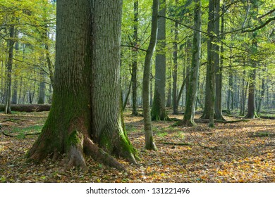 Twin old oaks in autumnal deciduous stand of Bialowieza Forest in morning