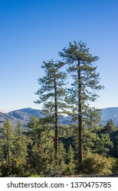 Twin pine trees stand side by side above wooded forest in mountain wilderness.