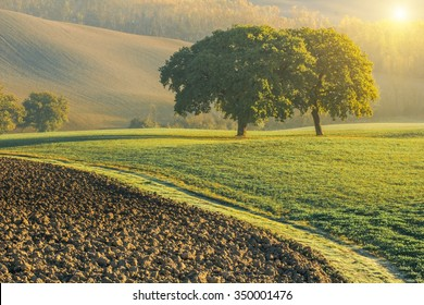twin trees in green tuscany fields on a sunny warm autumn morning with a sun flare