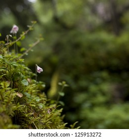 Twinflowers on mossy background