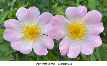 Die Zwillinge. Schöne Brombeerblüte - Draufsicht.