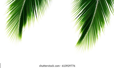 twins green palm coconut leaves in summer on pale white background