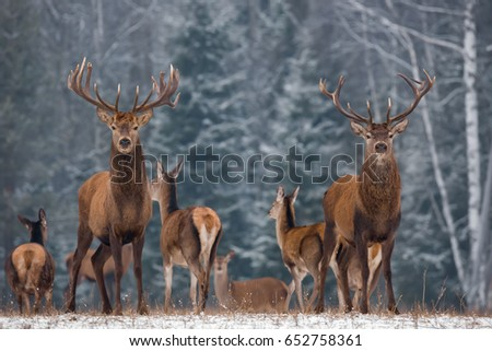 Twins. Winter Wildlife Landscape With Two Noble Deer (Cervus elaphus). Deer With Large Branched Horns On The Background Of Snow-Covered Birch Forest. Two Stag Close-Up, Artistic View. Two Trophy Deer