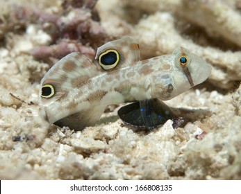 Twinspot goby in Bohol sea, Phlippines Islands