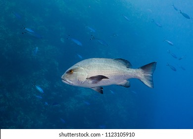 Twinspot snapper (Lutjanus bohar) side view of large silver fish with dark fins swimming in the blue clear water of the Red Sea, with small fish swimming in the background.