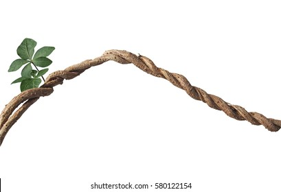 Twisted big jungle vines with leaves and budding of wild morning glory liana plant isolated on white background, clipping path included.