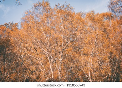 Twisted birch tree branches covered in yellow leaves against bright blue sky background