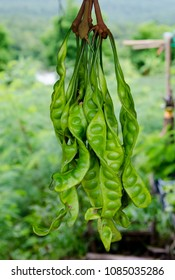 Twisted cluster bean hangging