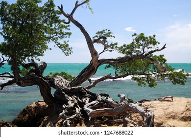 twisted crooked tree in front of turquoise ocean on Jamaica