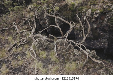 twisted dead branches on volcanic rock in Etna Park, Sicily
