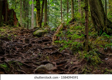 Twisted exposed gnarled aerial roots of pine trees growing on a slope of a hill in Lynn Canyon Park forest in Vancouver, Canada