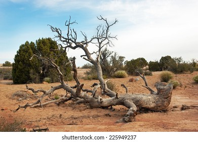Twisted fallen Pinyon Pine tree in Arches National Park, Utah