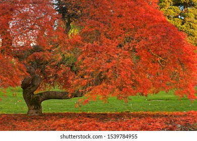 Twisted Japanese Maple in autumn with red leaves on ground in Bellingham, Washington.