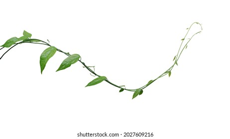 Twisted jungle vines climbing plant isolated on white background with clipping path. Green leaves vines of Tiliacora triandra medicinal plant native to Southeast Asia. - Shutterstock ID 2027609216