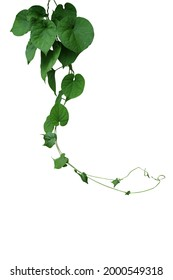 Twisted jungle vines hanging liana plant with heart shaped green leaves of cowslip creeper (Telosma cordata) medicinal forest plant isolated on white background with clipping path.   - Shutterstock ID 2000549318