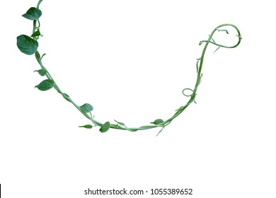 Twisted jungle vines liana plant with green leaves isolated on white background, clipping path included.