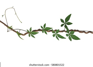 Twisted jungle vines with palmate leaves of wild morning glory liana plant isolated on white background, clipping path included.
