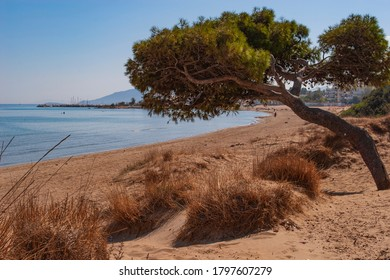 A twisted maritime pine, shaped by the elements, on a beach near Rafina, Attica, Greece, Europe