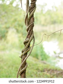 Twisted organic vines growing together with detailed rough texture. Old vintage plant growth outside in the woods. Hanging vine isolated on blurred background