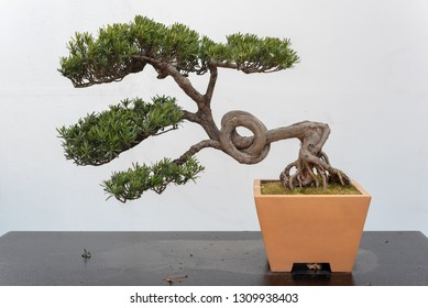 Twisted pine bonsai tree on a wooden table against white wall in Baihuatan public park, Chengdu, Sichuan province, China