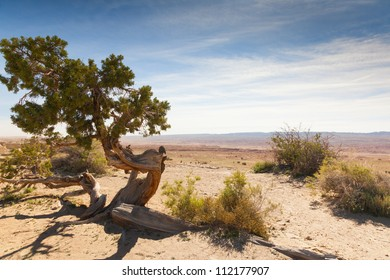 Twisted  tree on the dessert. Arizona USA.