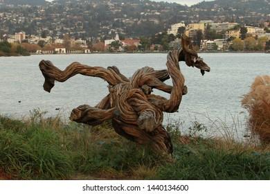 Twisted tree trunk on shore of Lake Merritt in Oakland, California.