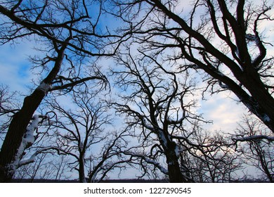 Twisted trees creep towards the sky during a cloudy winter day in Illinois